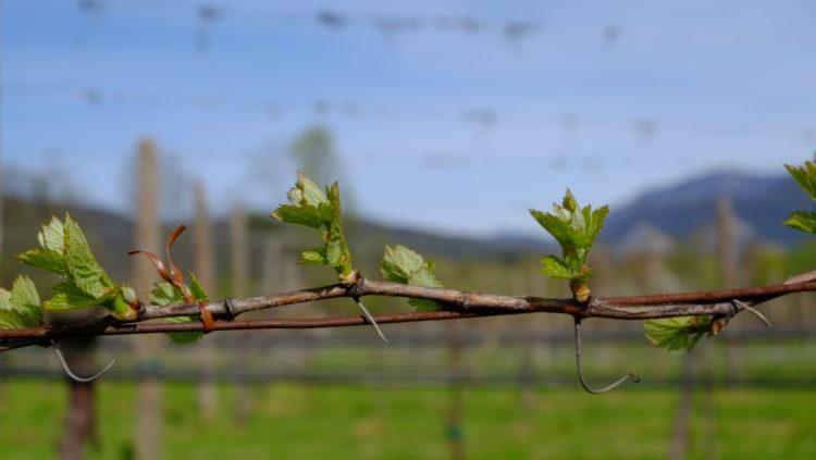 Potatura della Vite, sistemi di allevamento, suoli e fattori che influenzano la qualità in vigna