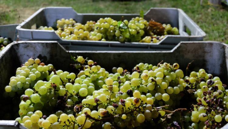 Maturazione del Vino e Fasi della Vendemmia